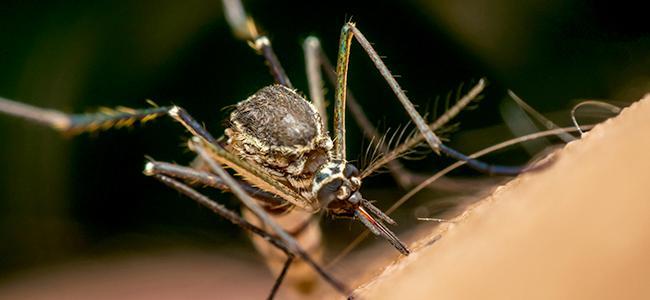 mosquito up close
