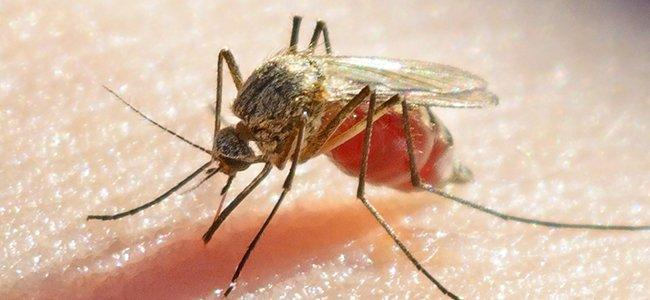 a mosquito biting a human and spreading disease