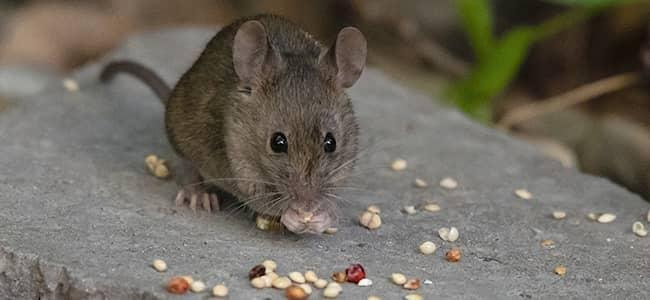a mouse eating seeds in a maryland garden