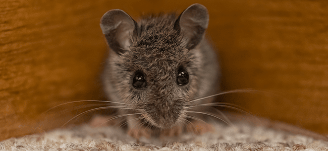 rodent problem in Maryland