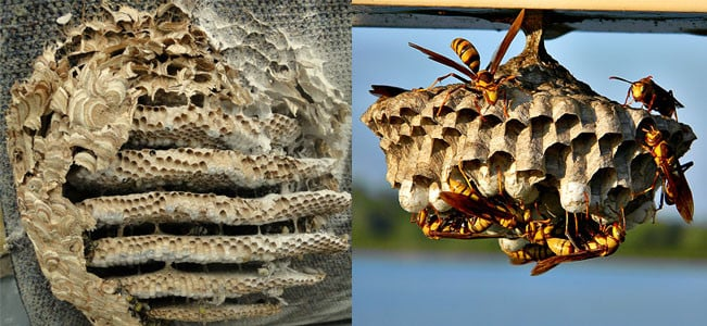 comparison of yellowjacket nest and wasp nest