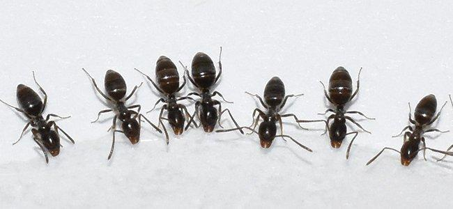 ants on a counter