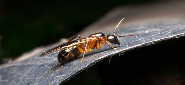 odorous house ant crawling on a hard surface