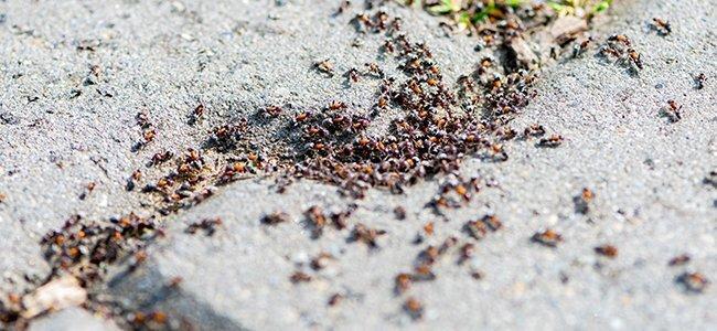 pavement ant infestation