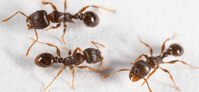 pavement ants up close before ant control dc