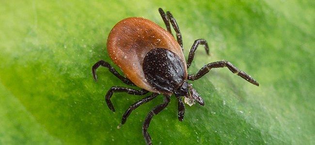 tick crawling on leaf