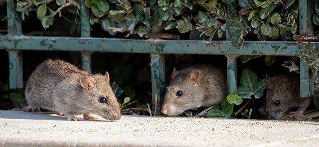 rats crawling out of holes