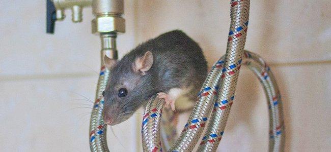 rat under sink