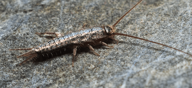 silverfish up close are silverfish dangerous