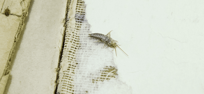 silverfish crawling on paper surface