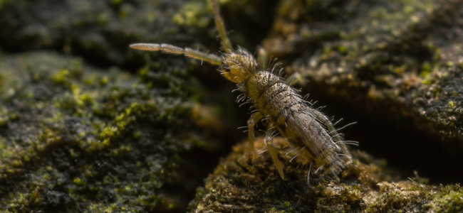 springtail up close