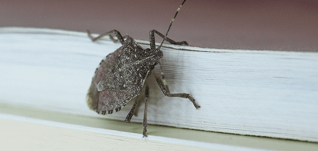 stink bug on maryland home