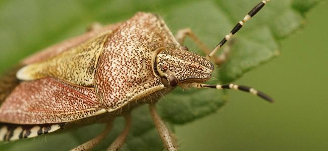 up close image of a stink bug on a leaf