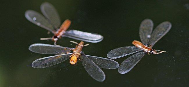termite swarmers flying