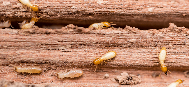 termites in maryland home