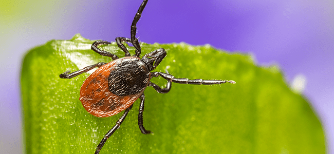 deer tick up close learn about virginia tick control
