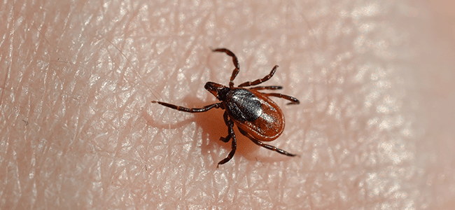 deer tick up close
