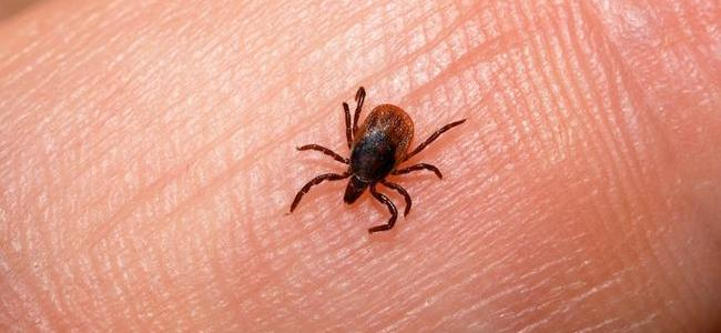a tick on the skin of a fulton maryland resident