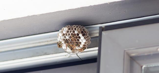 wasps starting a nest