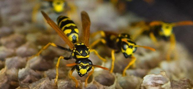up close image of wasps resting on their nest