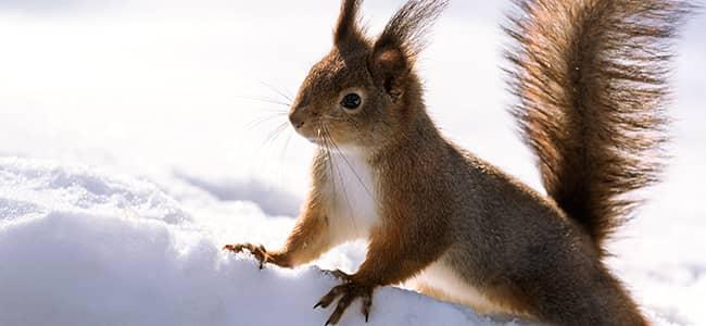How Squirrels And Chipmunks Break Into Homes In Winter