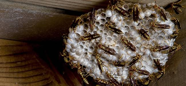 a yellow jacket nest outside a virginia home