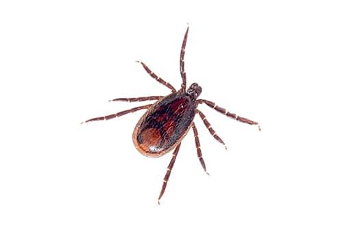 what a brown dog tick looks like