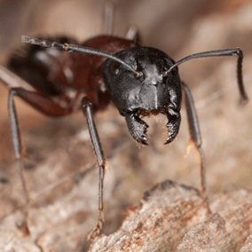 carpenter ant outside northern virginia home