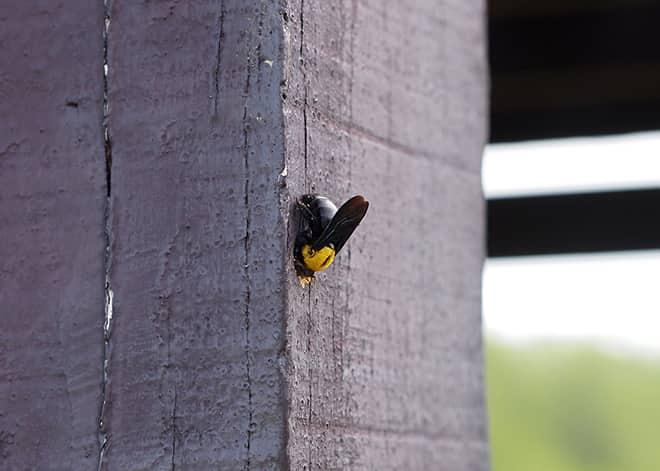 a carpenter bee destroying wood at a home in springfield virginia