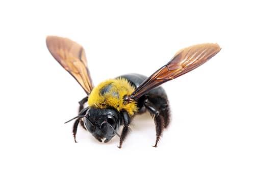 a carpenter bee in bristol maryland
