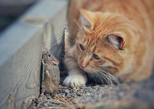 a cat stalking a mouse in a home in highland maryland
