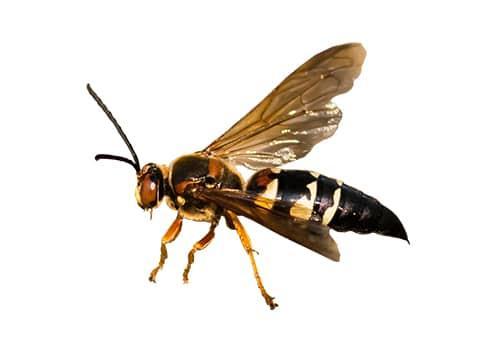 a cicada killer wasp in dundalk maryland