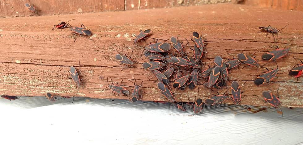 boxelder bugs trying to get inside maryland home