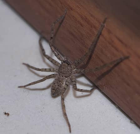 spider in maryland home