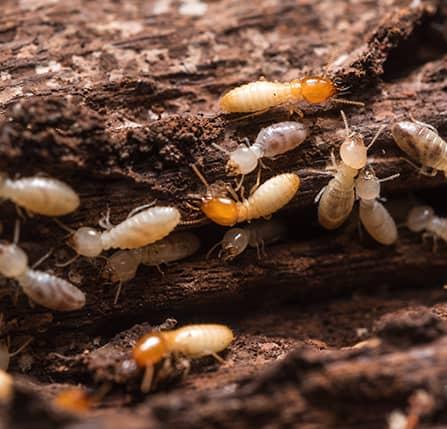 termites near dc home