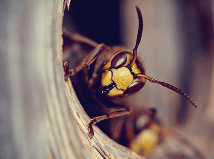 yellow jacket in nest