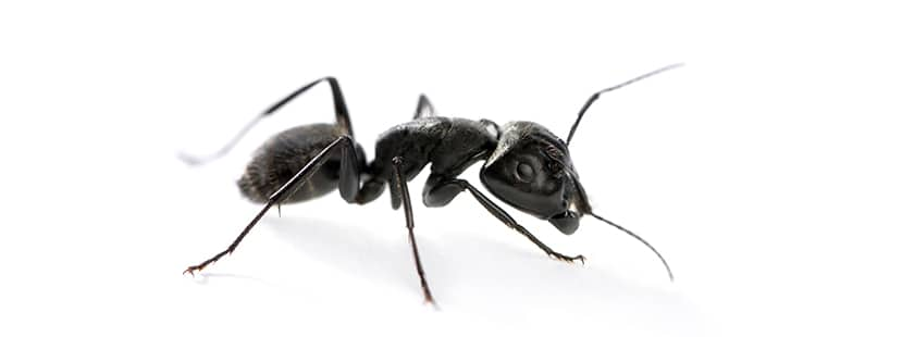 ant in maryland