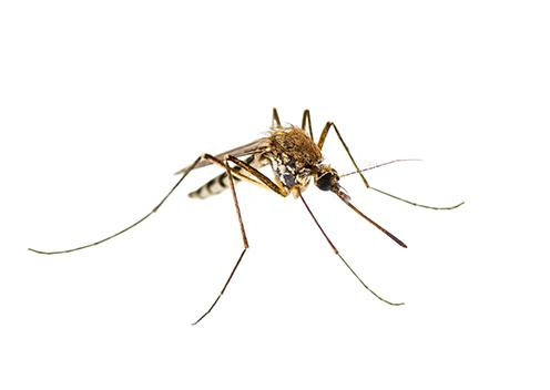 a house mosquito in maryland