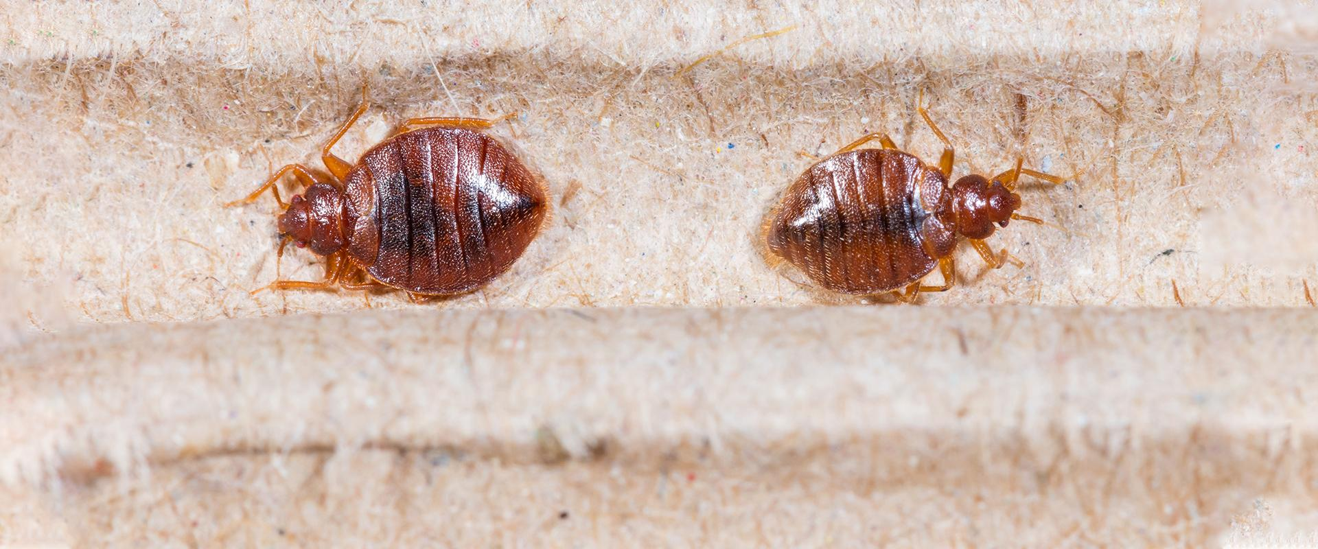 two bed bugs on bedding in a home in chevy chase maryland