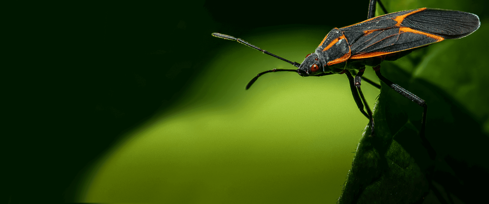 box elder bugs destroying plants in dc