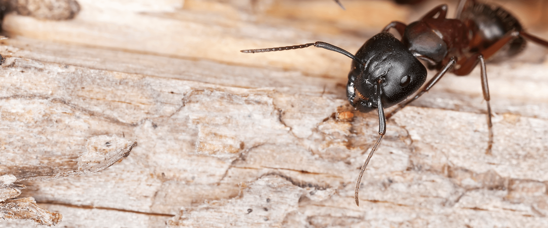 large black carpenter ant in a baltimore home