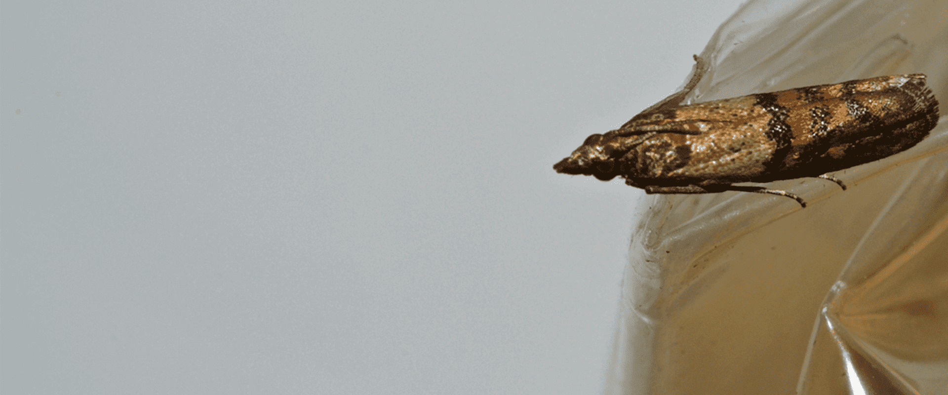 washington dc home with an indian meal moth problem