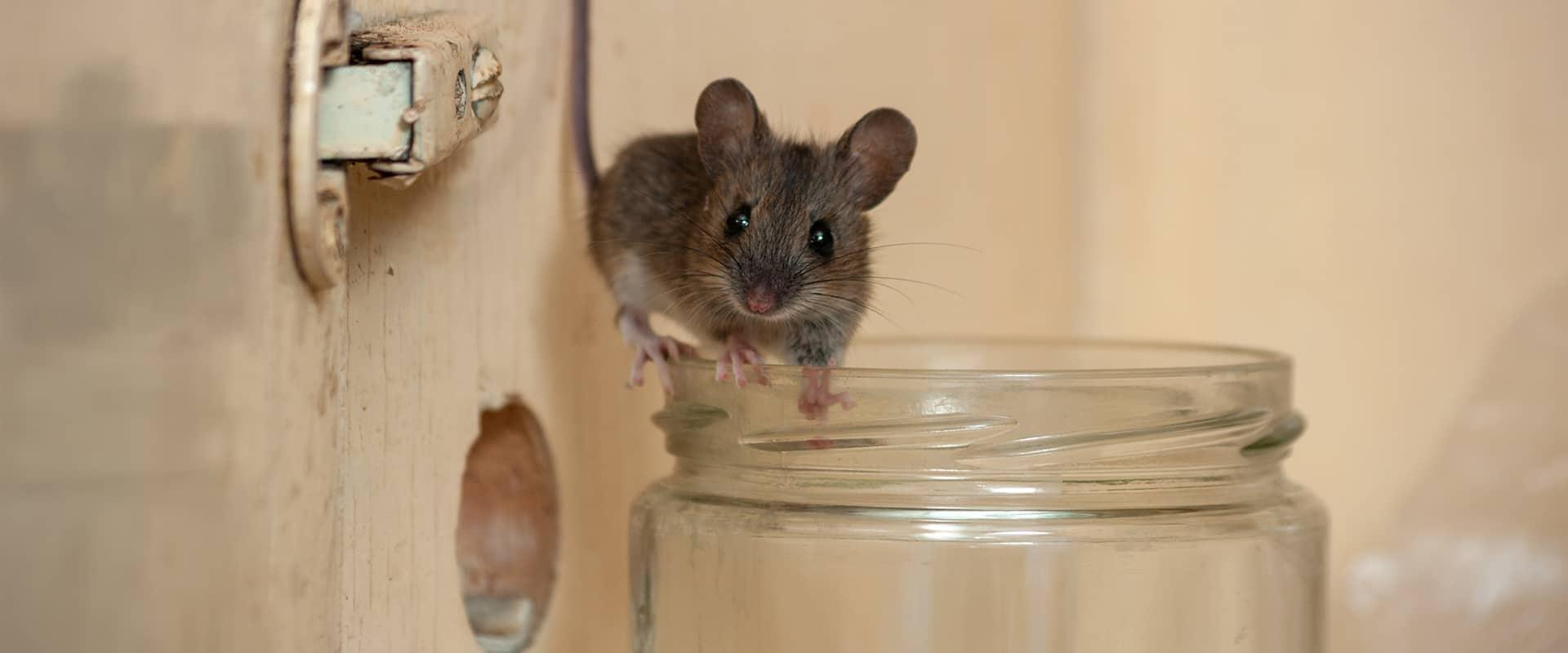a mouse climbing on the rim of a glass in a home in bethesda maryland