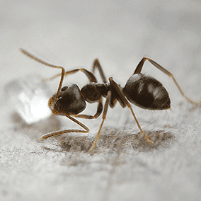 odorous house ant on a kitchen floor in baltimore