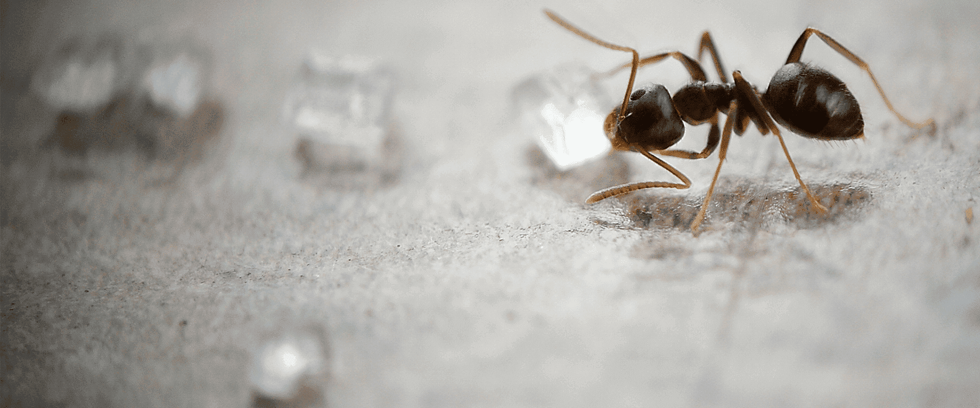 odorous house ant in maryland home