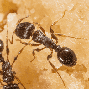 pavement ant searching for food outside virginia home