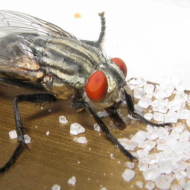 flies in md, va & dc