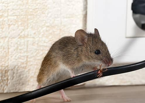 a mouse chewing through an electrical wire in a home in hunt valley maryland