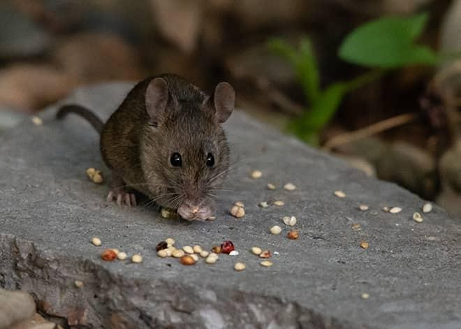 a mouse outside a home in burtonsville maryland