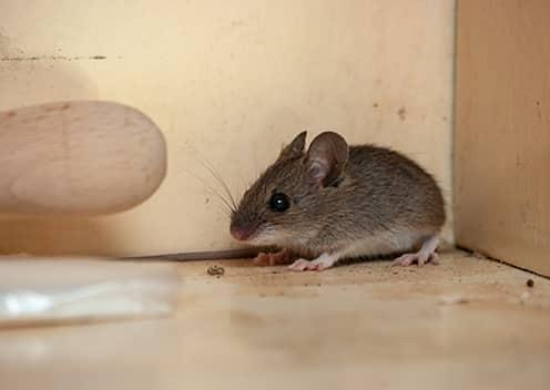 a mouse inside a kitchen cabinet in baltimore maryland